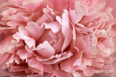 Peony 973 Poster by Cindi Ressler