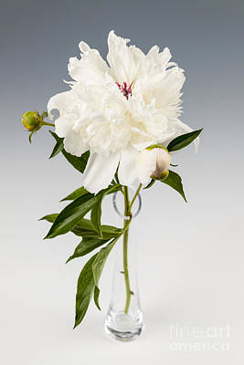 Peony Flower In Vase Poster by Elena Elisseeva