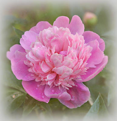 Peony - Pink Poster by Sandy Keeton