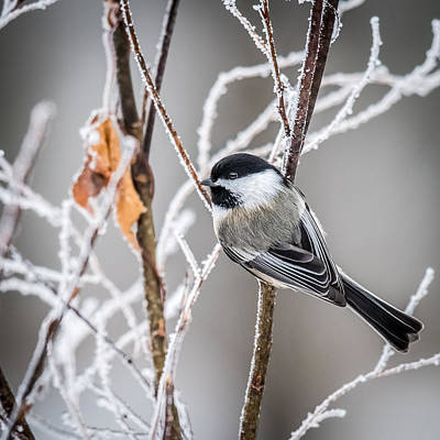 Perched Black Capped Chickadee Poster by Paul Freidlund