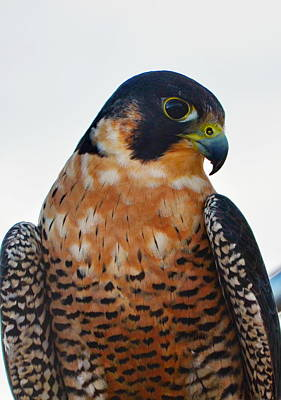 Peregrine Falcon Poster by Annie Pflueger