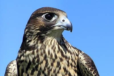 Peregrine Falcon Pride Poster by Christina Rollo