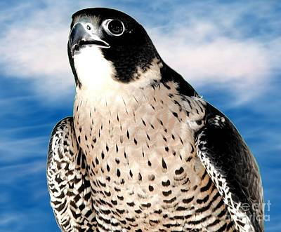 Peregrine Falcon Poster by Rose Santuci-Sofranko