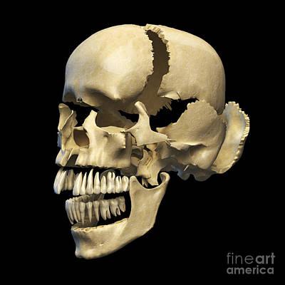 Perspective View Of Human Skull Poster by Leonello Calvetti