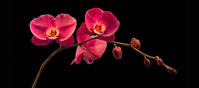 Phalaenopsis Poster by Debra and Dave Vanderlaan