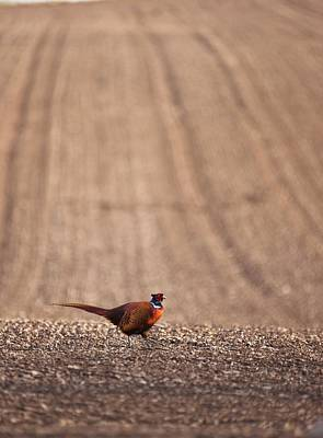 Pheasant Standing On The Ground Poster by John Short