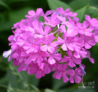 Phlox Flowers  Poster by Ruth  Housley