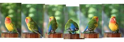 Peach-faced Lovebird Poster featuring the photograph Photo Shoot by  Andrea Lazar