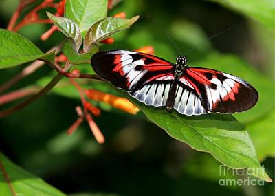Piano Key Butterfly On Fire Bush Poster by Sabrina L Ryan