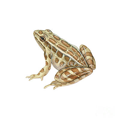 Pickerel Frog Poster by Carlyn Iverson