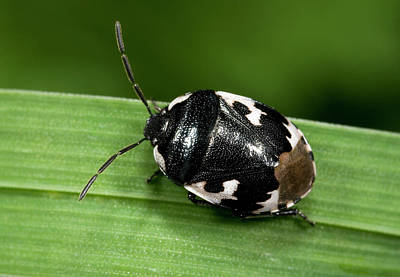 Pied Shield Bug Poster by Nigel Downer