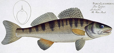Pike Perch Poster by Andreas Ludwig Kruger