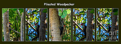 Pileated Woodpecker Poster by Nancy L Marshall