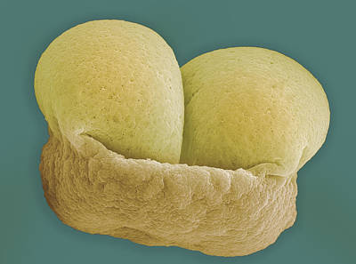Pine Pollen. Sem Poster by Science Stock Photography