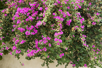 Pink Bougainvillea Growing On Wall Poster by Rosemary Calvert