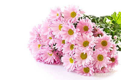 Pink Chrysanthemum Prints Poster by Boon Mee