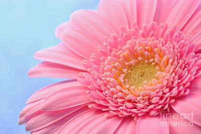 Pink Gerbera  Poster by Martin Capek