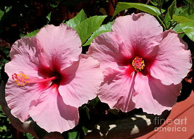 Pink Hibiscus Blooms Poster by Carol Groenen
