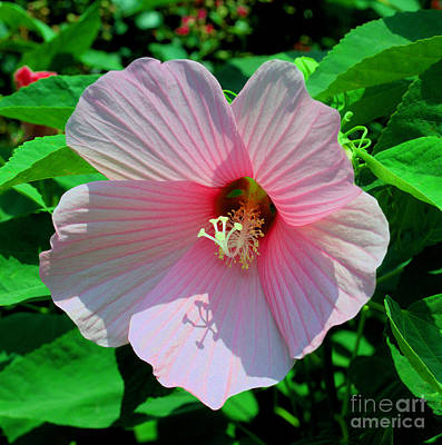 Pink Hibiscus Poster by Luther   Fine Art