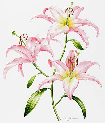 Pink Lily Poster by Sally Crosthwaite