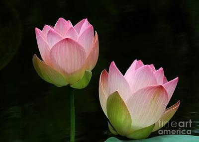 Pink Lotus Duet Poster by Sabrina L Ryan