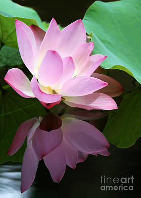 Pink Lotus Reflected In The Lake Poster by Sabrina L Ryan
