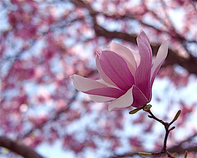 Pink Magnolia Poster by Rona Black