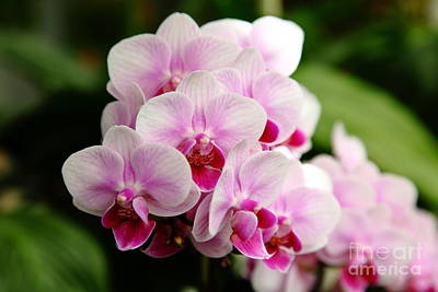 Pink Orchids 5d22439 Poster by Wingsdomain Art and Photography