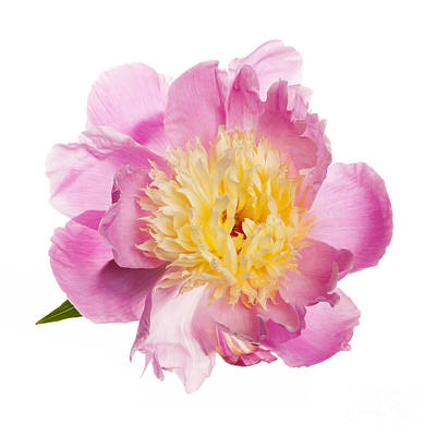 Pink Peony Flower Poster by Elena Elisseeva