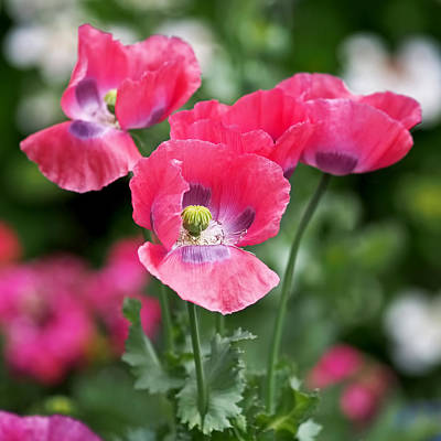 Pink Poppies Poster by Rona Black