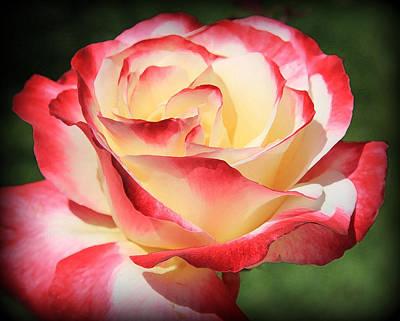 Pink Rose Poster by Athala Carole Bruckner