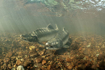 Pink Salmon During Summer Spawning Poster by Michael Quinton