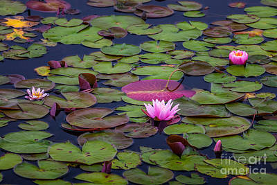 Pink Water Lilies Poster by Susan Cole Kelly