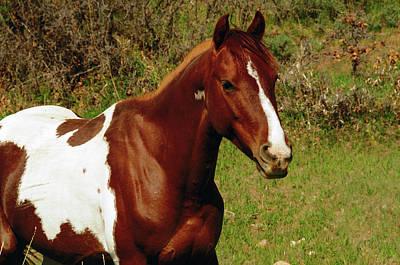 Pinto Pony In Meadow On La Sal Mountain Poster by Michel Hersen