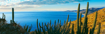 Pitaya And Cardon Cactus On Coast Poster by Panoramic Images