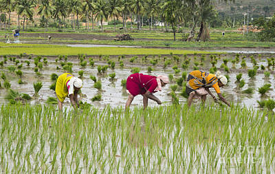 Planting Rice India Poster by Tim Gainey