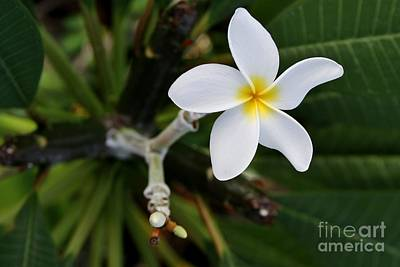 Plumeria Poster by Butch Phillips