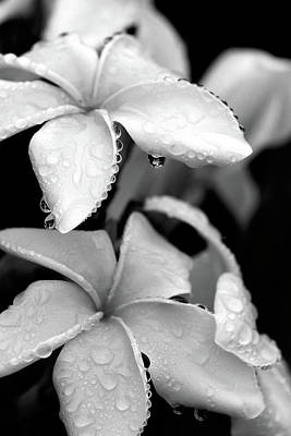 Plumeria Drip Poster by Peter Tellone