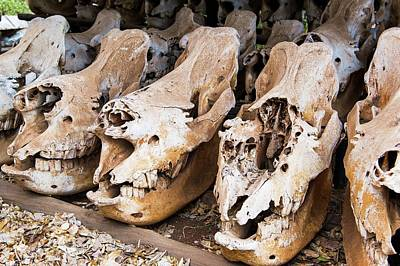 Poached Rhino Skulls Display Poster by Peter Chadwick