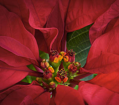 Poinsettia Poster by Barbara Smith