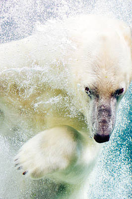 Polar Bear In Water Poster by Pati Photography