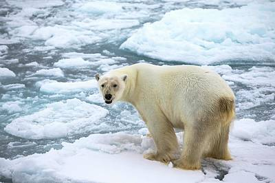 Polar Bear Standing On A Ice Floe Poster by Peter J. Raymond