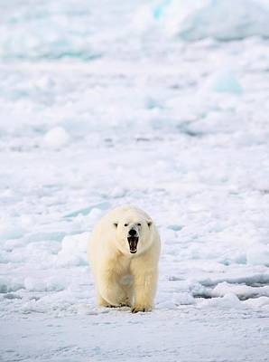 Polar Bear Walking On A Ice Floe Poster by Peter J. Raymond