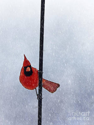 Pole Dancing Cardinal Poster by Darren Fisher