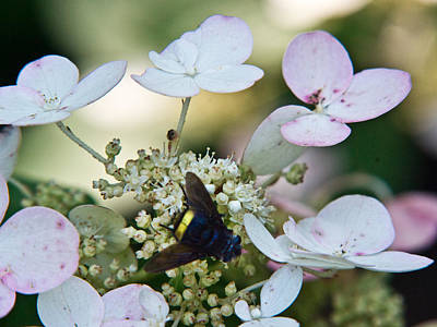Pollen And Nectar Feeding Fly 10 Poster by Douglas Barnett