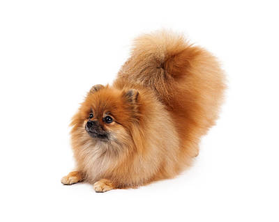 Pomeranian Bowing Looking To Side Poster by Susan  Schmitz