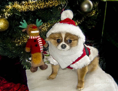Pomeranian Santa Poster by Gary Keesler