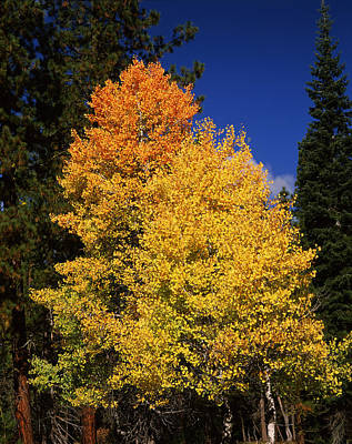Ponderosa Pine With Aspen And Fir Trees Poster by Panoramic Images