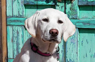 Portrait Of A Goldendoodle Puppy Poster by Zandria Muench Beraldo