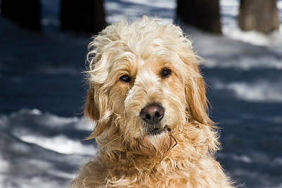 Portrait Of A Goldendoodle Sitting Poster by Zandria Muench Beraldo